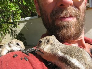 Mrs. Stubbs and another chippee eat off of my shoulder. This arrangement only lasted about 2 seconds until Mrs. Stubbs chased the other one away. The charms of Ammospermophilus leucurus.