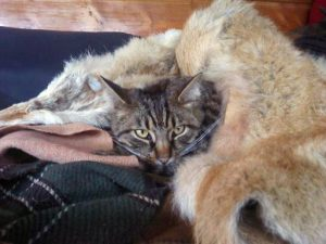 """The Firepit Cat,"" curled up in a coyote pelt. A true gem among cats."
