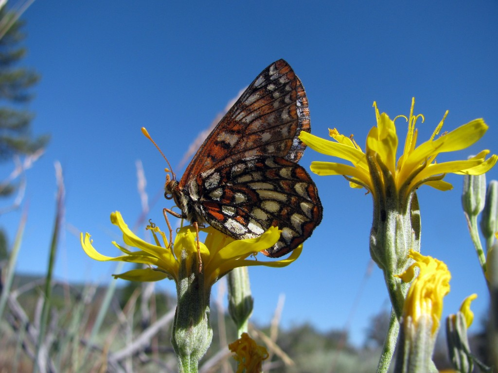 Checkerspot butterfly on Western Hawksbeard (Crepis occidentalis)