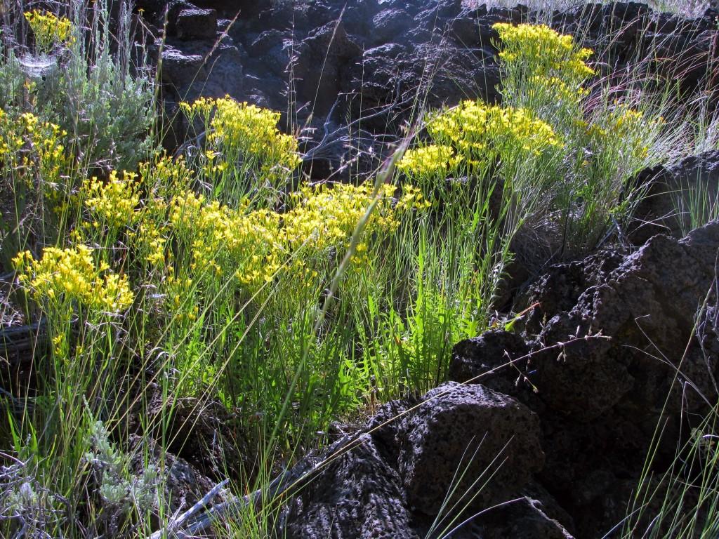 Nakedstem Hawksbeard (Crepis pleurocarpa)  in the Sunflower Family (Asteraceae)
