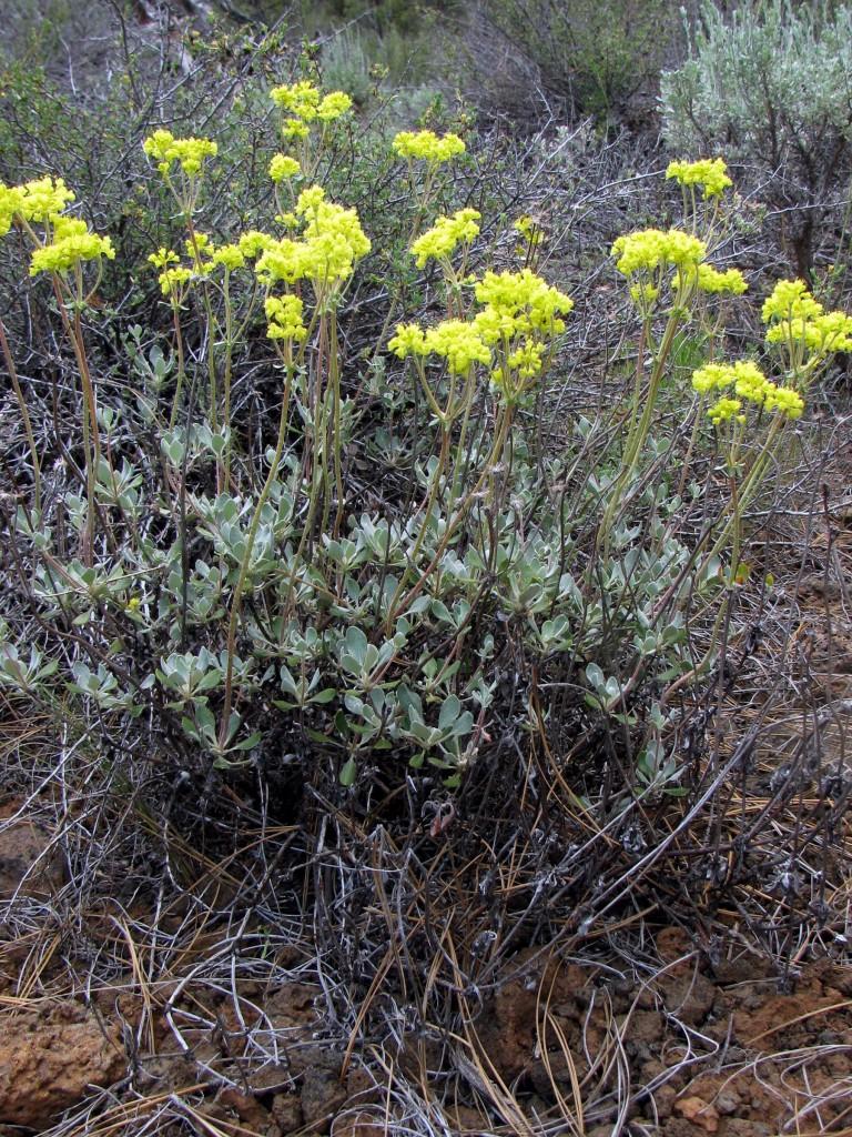 Sulphur Buckwheat (Eriogonum umbellatum)  in the Buckwheat Family (Polygonaceae)