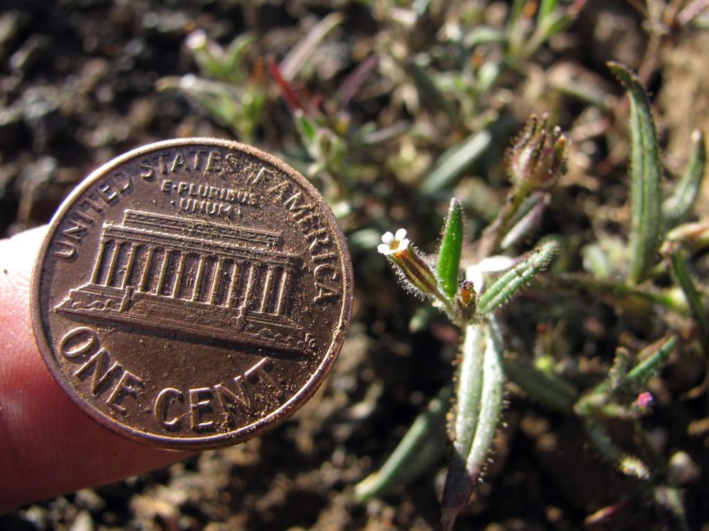 Slender Phlox (Microsteris gracilis) in the Phlox Family (Polemoniaceae)