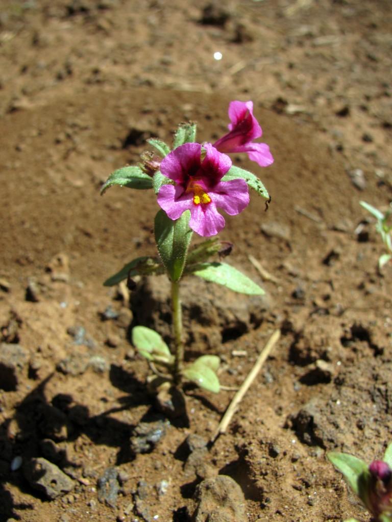 Dwarf Purple Monkeyflower (Mimulus nanus) in the Figwort Family (Scrophulariaceae)