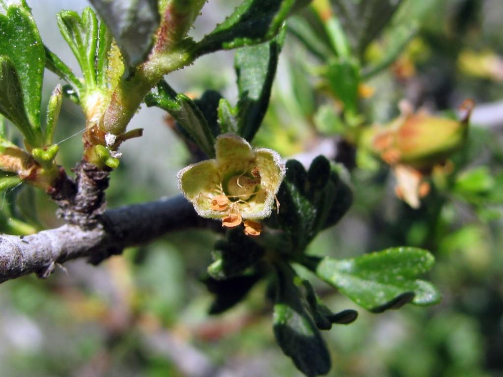 Antelope Bitterbrush (Purshia tridentata) in the Rose Family (Rosaceae): flower
