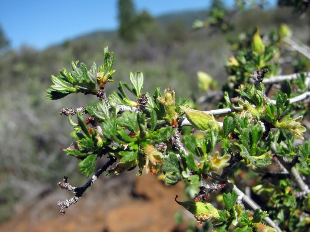 Antelope Bitterbrush (Purshia tridentata) in the Rose Family (Rosaceae): pointy fruit