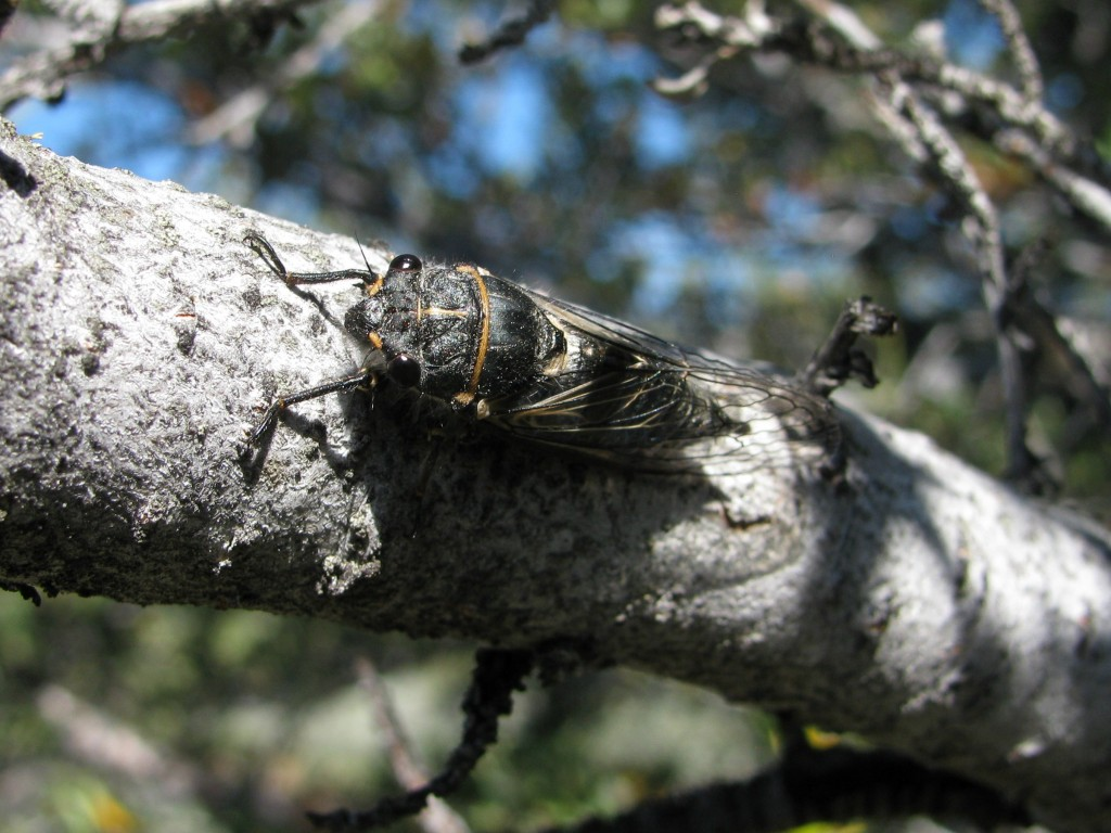Unknown species of Cicada