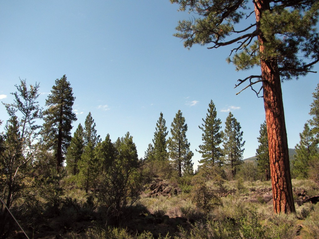 Lava bed landscape, sparsely treed with pines