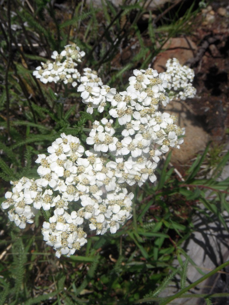 Yarrow (Achillea millifolium)