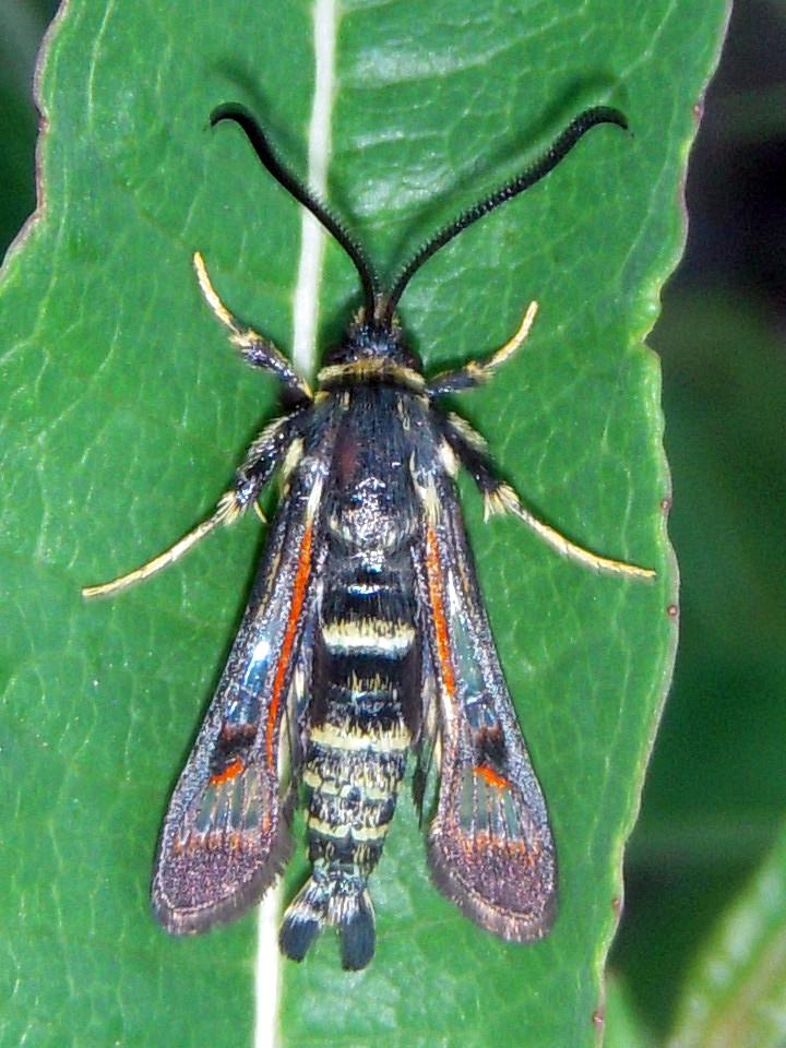 Fireweed Clearwing Moth (Albuna pyramidalis)