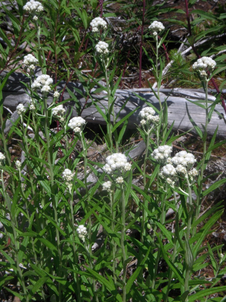 Pearly Everlasting (Anaphalis margaritacea) - patch