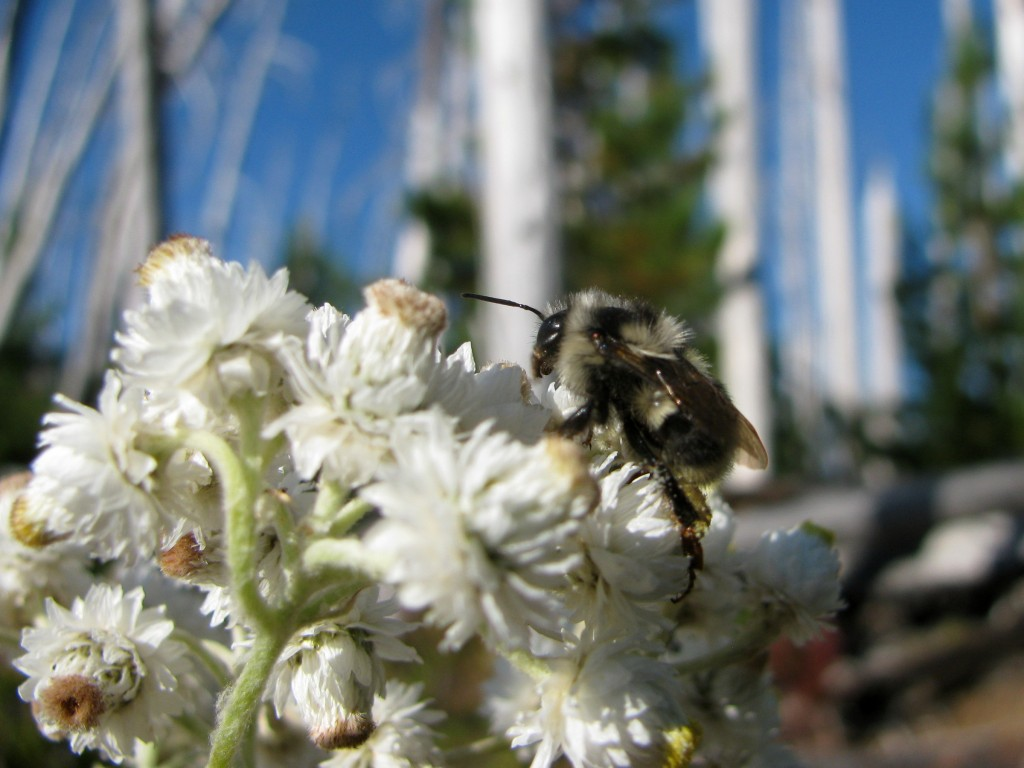 Pearly Everlasting (Anaphalis margaritacea) with Bumble Bee