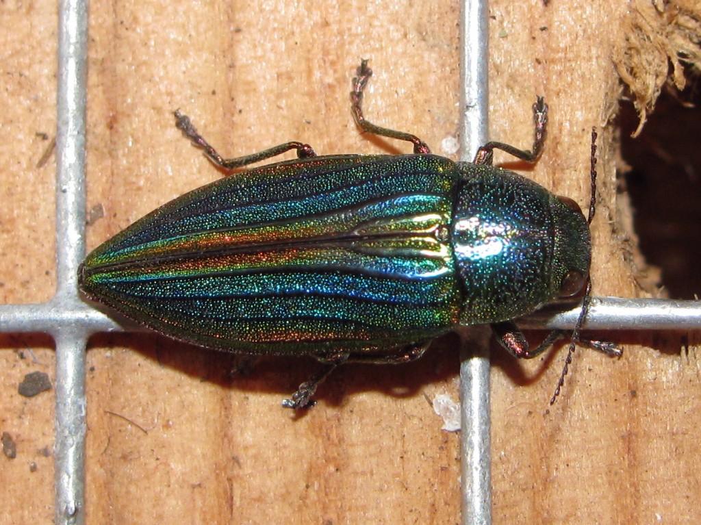 Jewel Beetle (Buprestis aurulenta) - top view