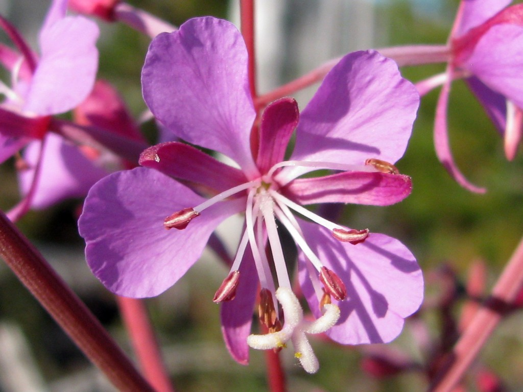 Fireweed (Chamerion angustifolium) - closeup of flower