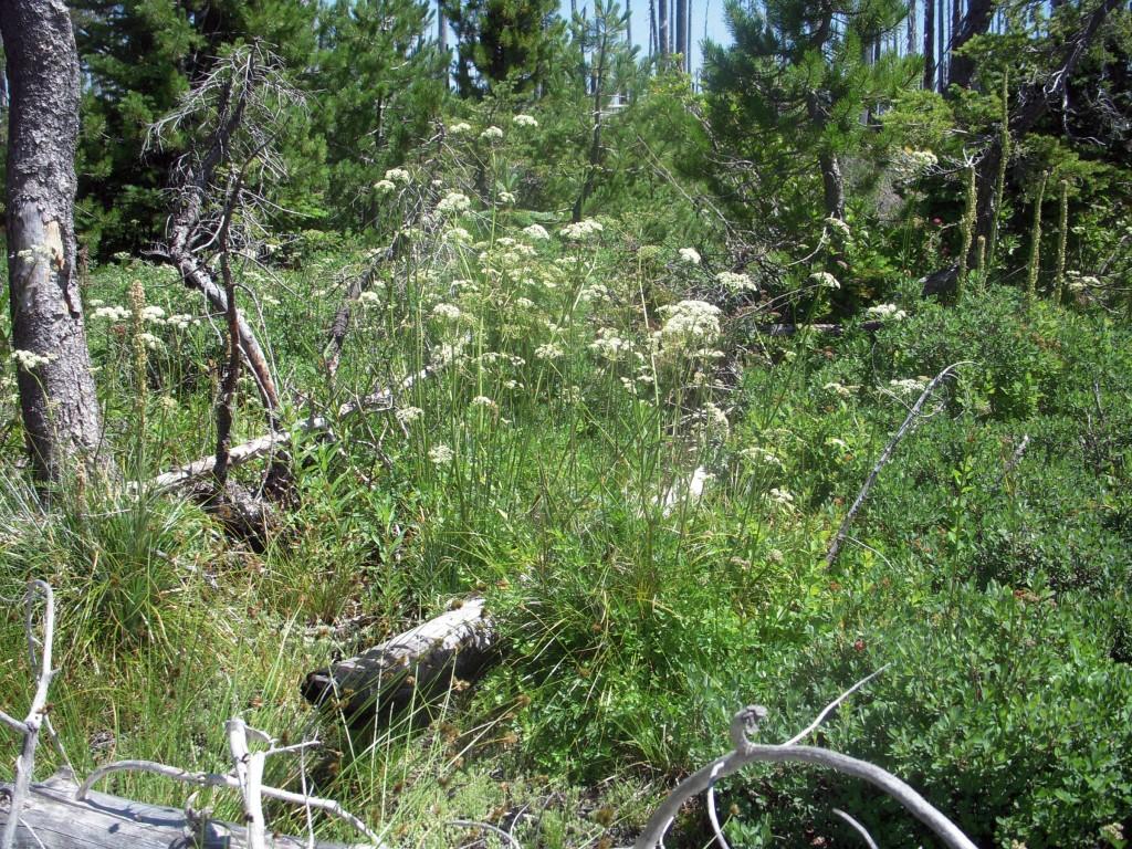 Ligusticum, unknown species