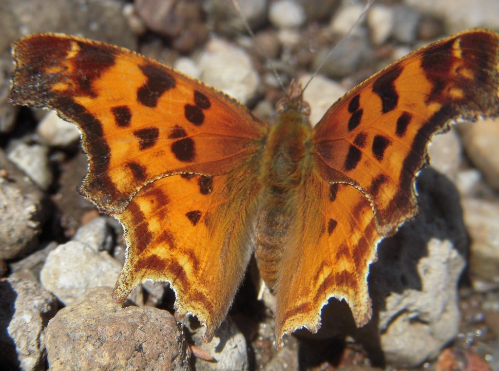 Satyr Comma Butterfly (Polygonia satyrus)