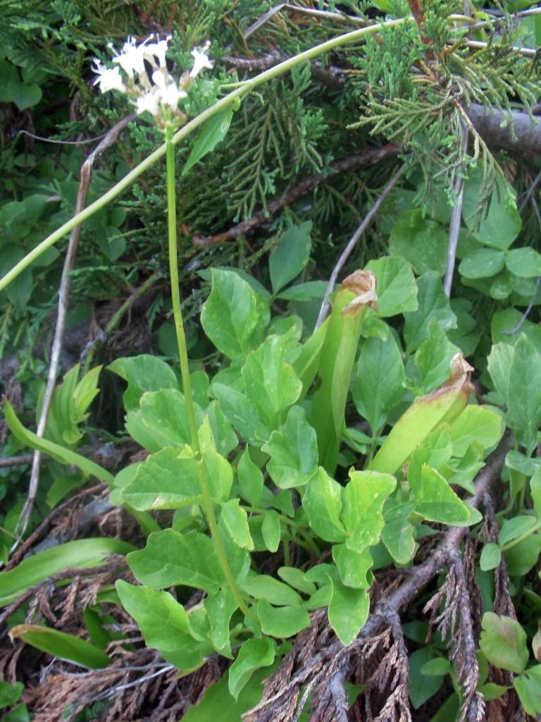 Valeriana, unknown species