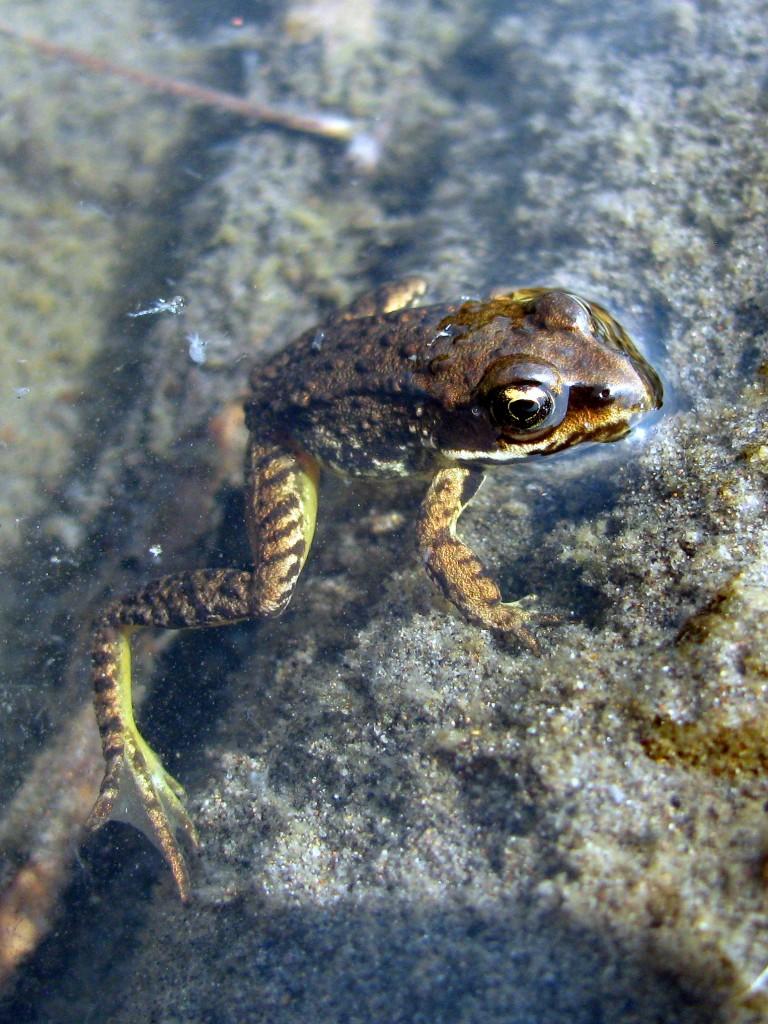 Cascades frog (Rana cascadae)