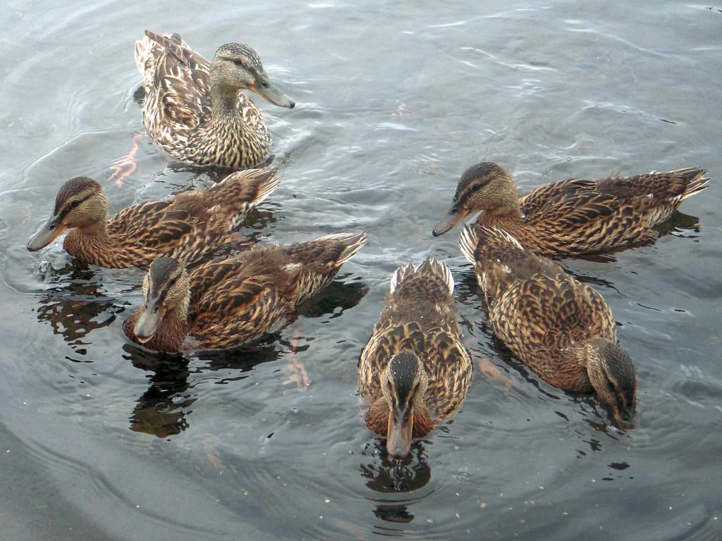 Mallard mama & older ducklings