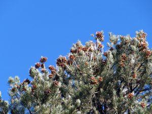 Crown of pinenut-bearing cones atop a Single-Needled Pinyon tree
