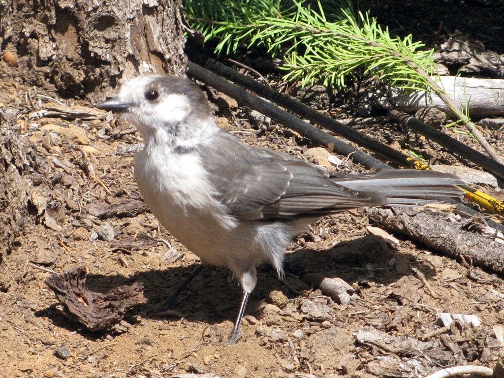 Wisakedjak: a good looking bird