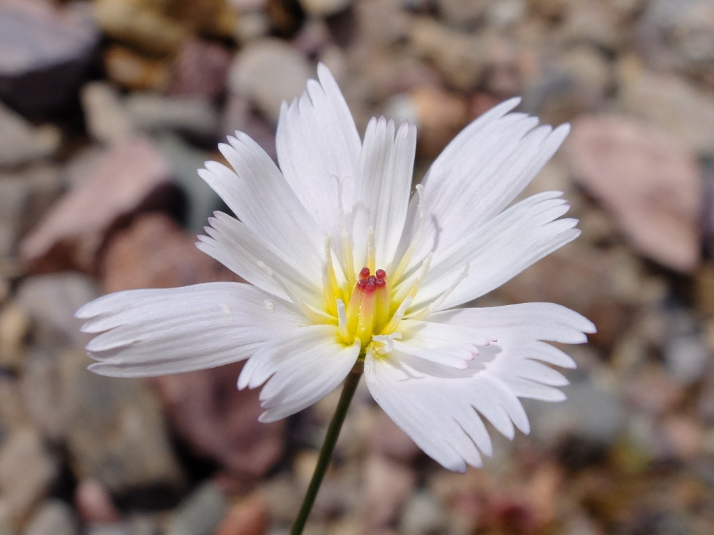 """Gravel Ghost"" - flower (Atrichoseris platyphylla, Family: Asteraceae)"
