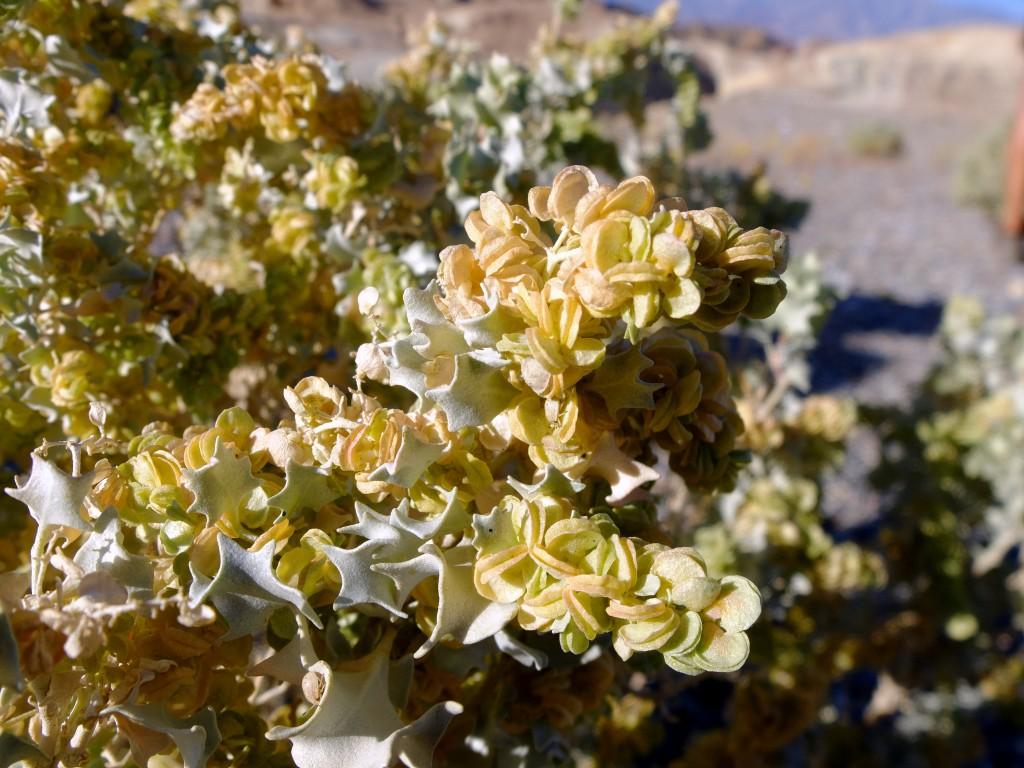 """""""Desert Holly"""" - female plant (Atriplex hymenelytra, Family: Chenopodiaceae)"""
