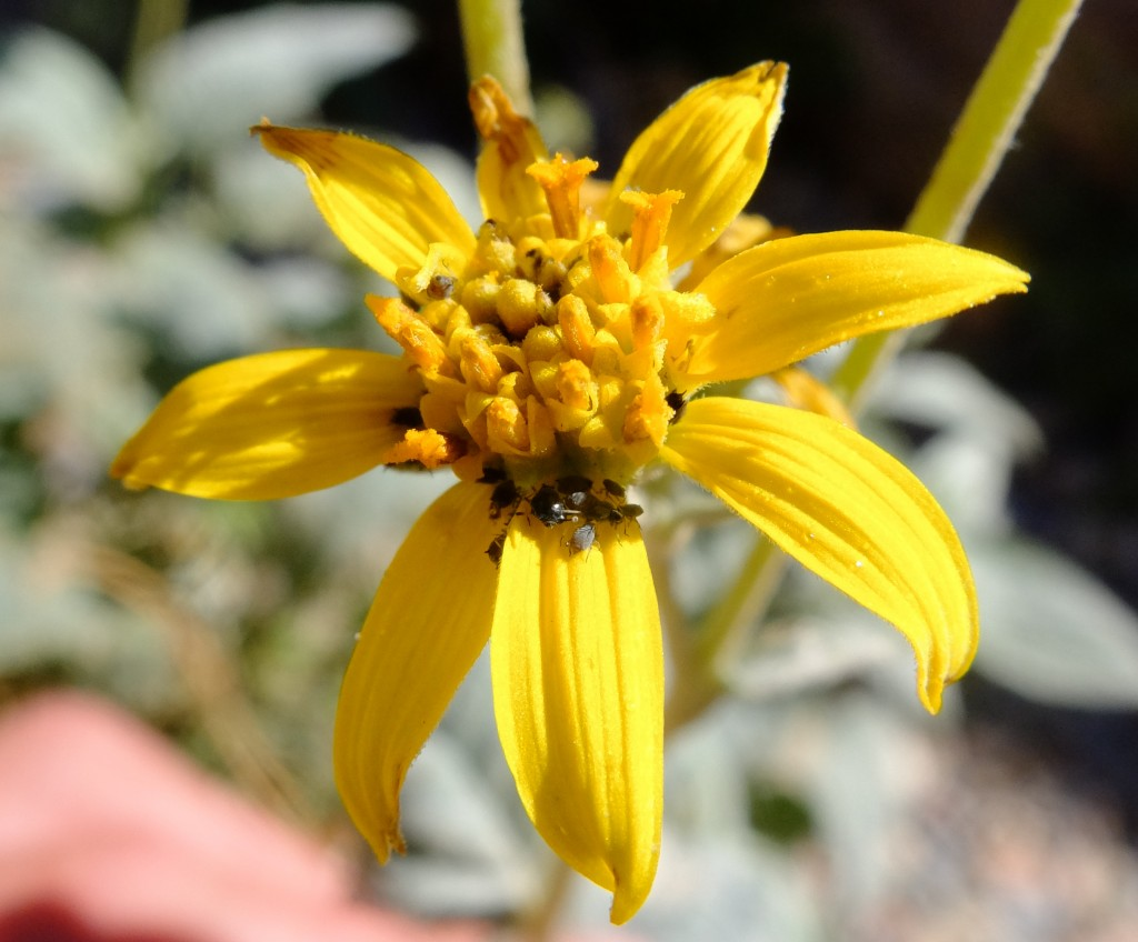 """Death Valley Goldeneye"" (Bahiopsis reticulata, Family: Asteraceae)"