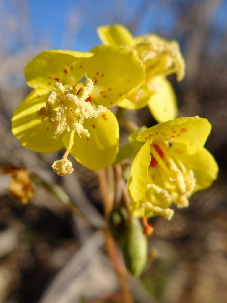 """Club-Fruited Primrose"" - yellow form (Chylismia claviformis, Family: Onagraceae)"