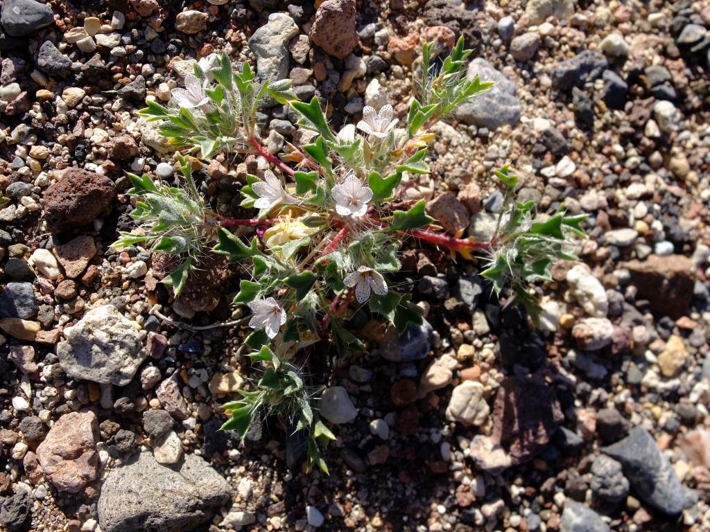 """""""Lilac Sunbonnet"""" - whole plant (Langloisia setosissima ssp. punctata, Family: Polemoniaceae)"""