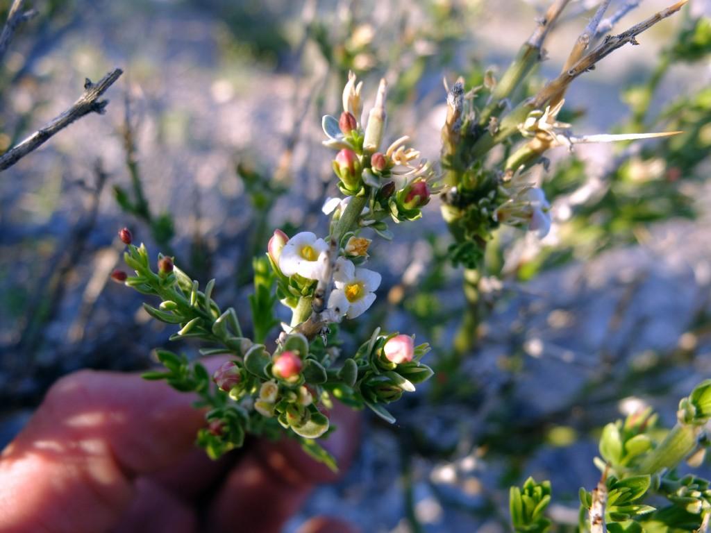 """""""Spiny Menodora"""" (Menodora spinescens, Family: Oleaceae)"""
