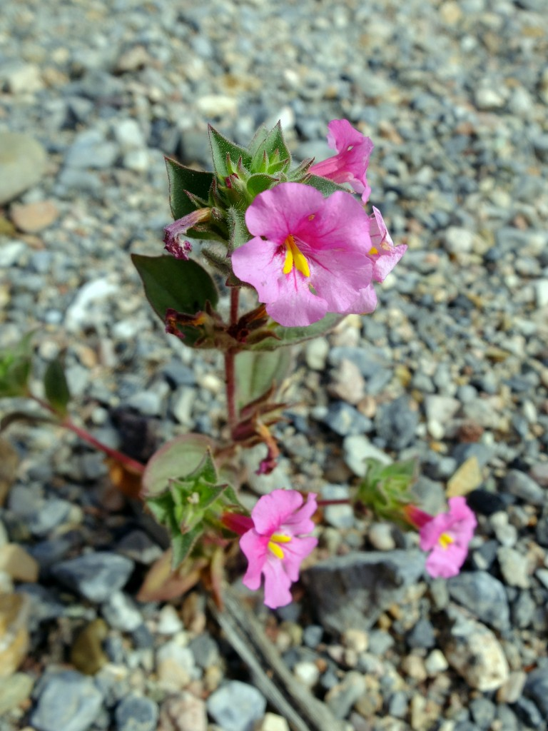 """Bigelow's Monkeyflower"" - whole plant (Mimulus bigelovii, Family: Phrymaceae)"