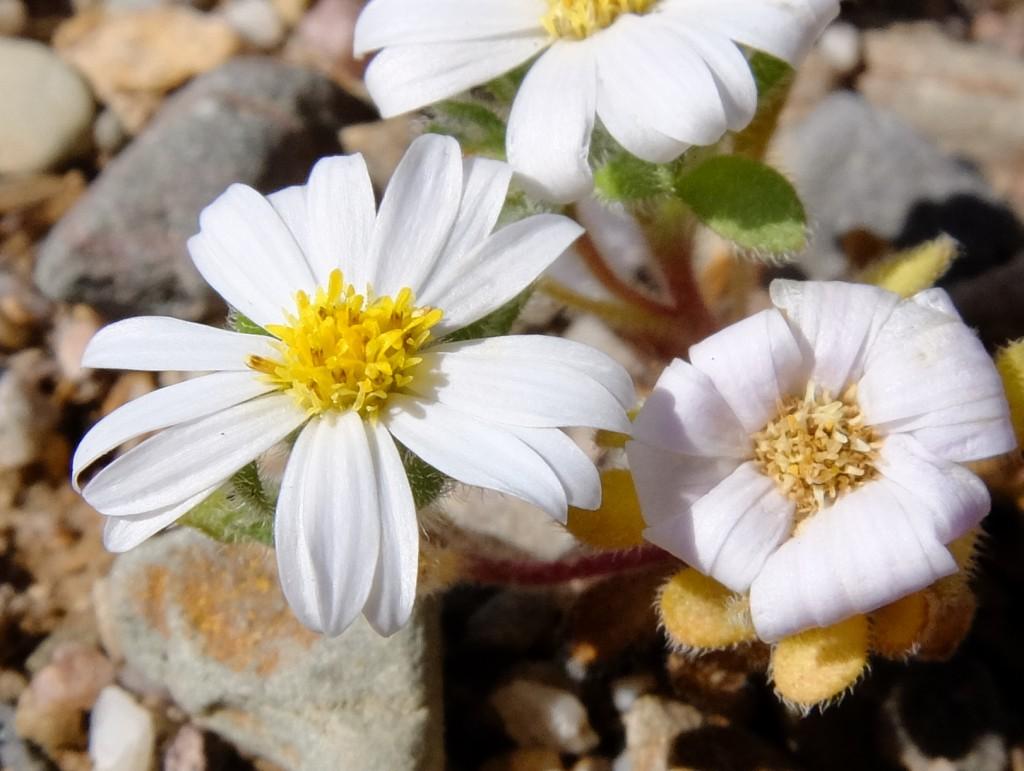 """""""Mojave Desert Star"""" - flowers (Monoptilon bellioides, Family: Asteraceae)"""