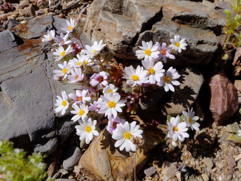 """Mojave Desert Star"" - whole plant (Monoptilon bellioides, Family: Asteraceae)"