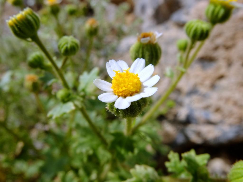 """Emory's Rock Daisy"" (Perityle emoryi, Family: Asteraceae)"