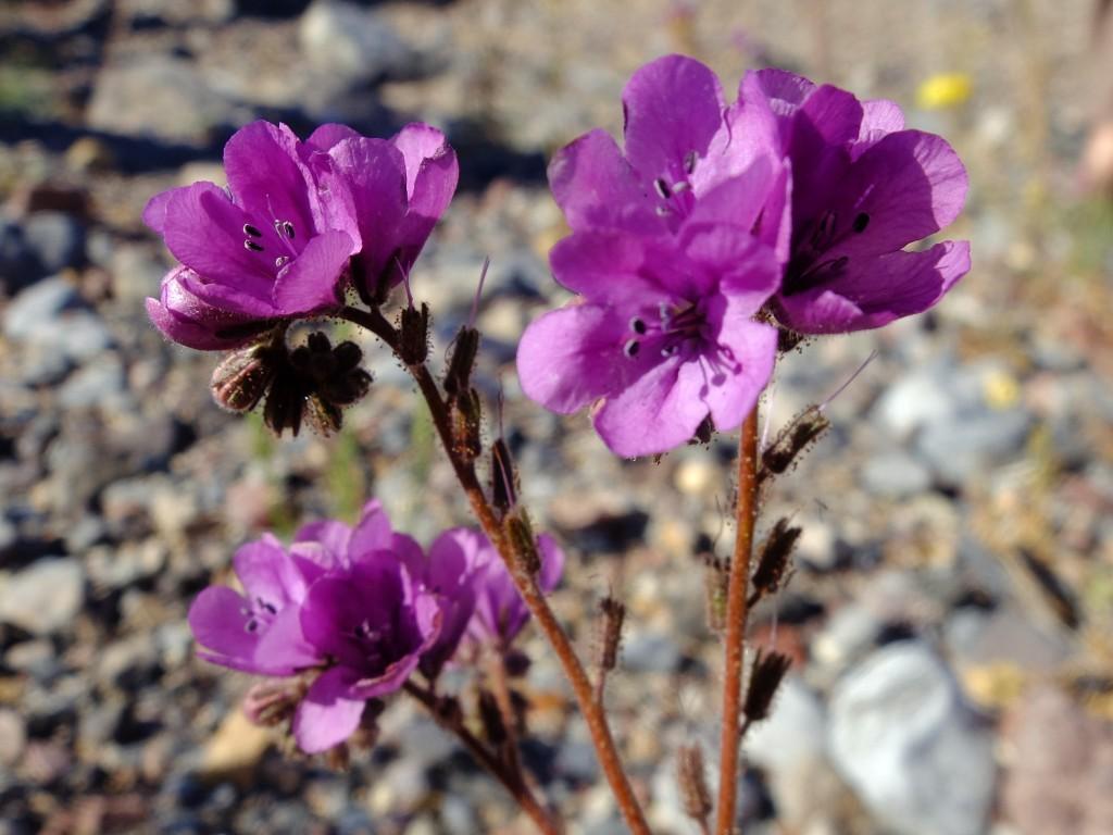 """Caltha-Leafed Phacelia"" - flowers (Phacelia calthifolia, Family: Boraginaceae)"