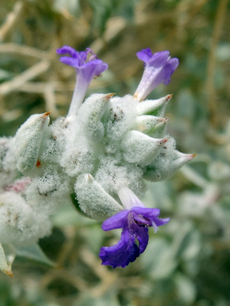 """Death Valley Sage"" - flowers (Salvia funerea, Family: Lamiaceae)"