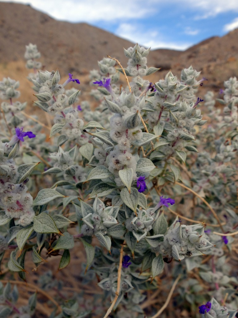 """Death Valley Sage"" - flowering (Salvia funerea, Family: Lamiaceae)"