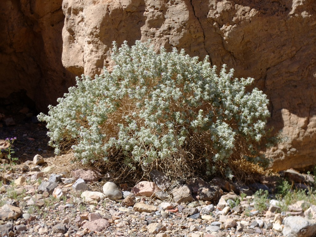 """Death Valley Sage"" - whole plant (Salvia funerea, Family: Lamiaceae)"