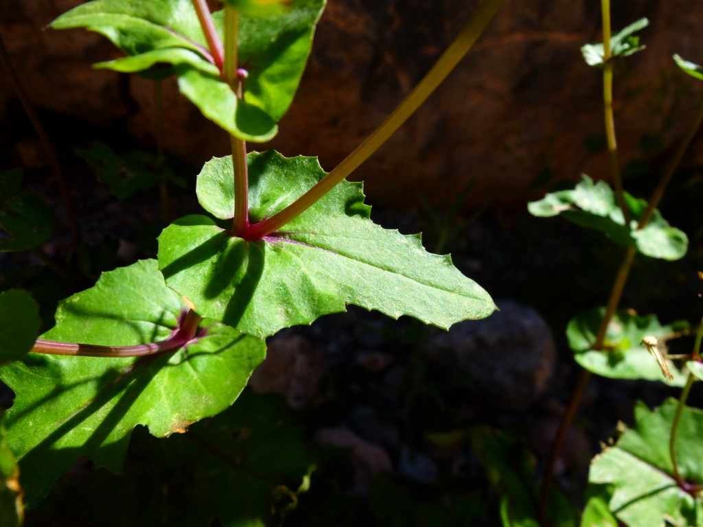 """Mojave Ragwort"" - leaves (Senecio mohavensis, Family: Asteraceae)"
