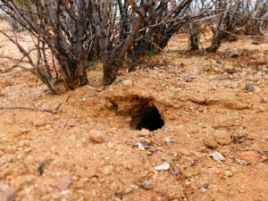 A hole leading to a Dipo den. Note the telltale sunflower seed shells.