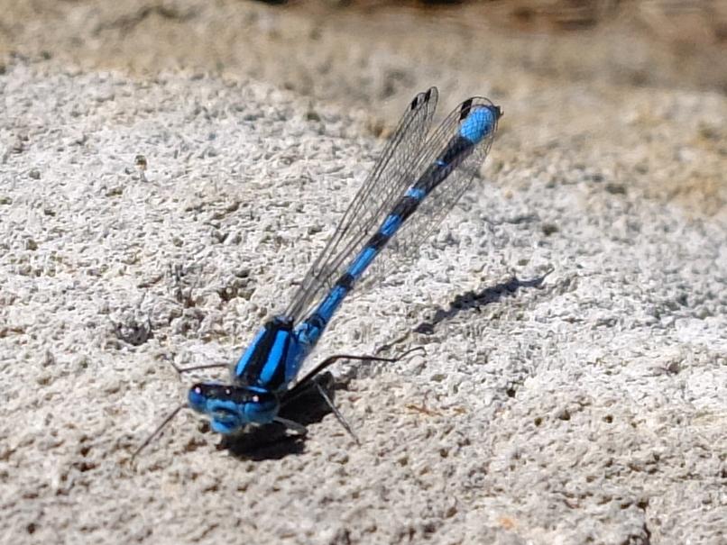 Damselfly, a water-dependent species
