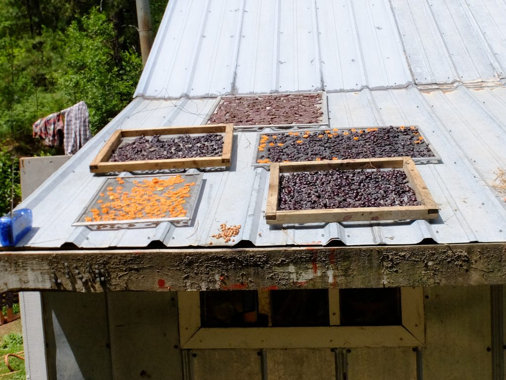 Apricots and cherries drying on roof