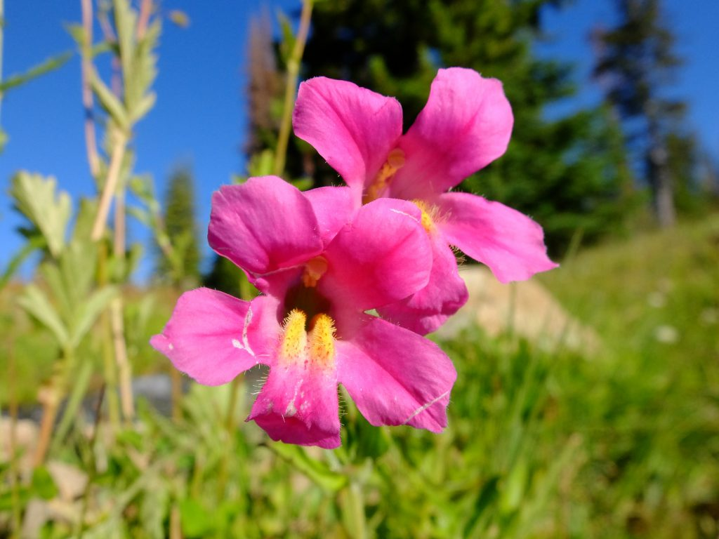 Monkeyflower (genus Mimulus)