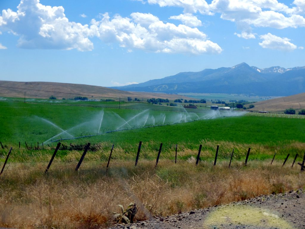 Irrigating fields for cow feed