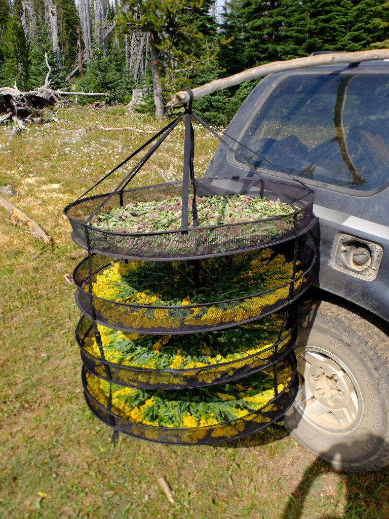 Drying flowering tops of Cascade Canada Goldenrod (Solidago elongata) for tea. (The other side of the stick was weighted down with a bucket of water!)
