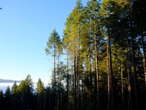 Overcrowded forest on edge of a clearcut in Humboldt County