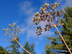 Seedheads of Yampah, a traditional Native American food crop