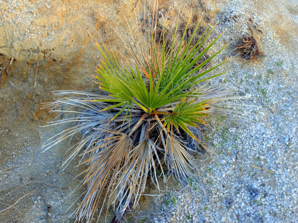 Baby Palm at Mary's Grove