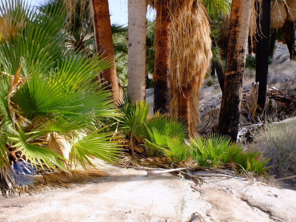 Baby Palms in Palm Bowl Grove