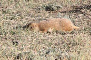 Dead prairie dog